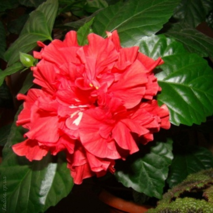 все виды роз домашних фото и названия